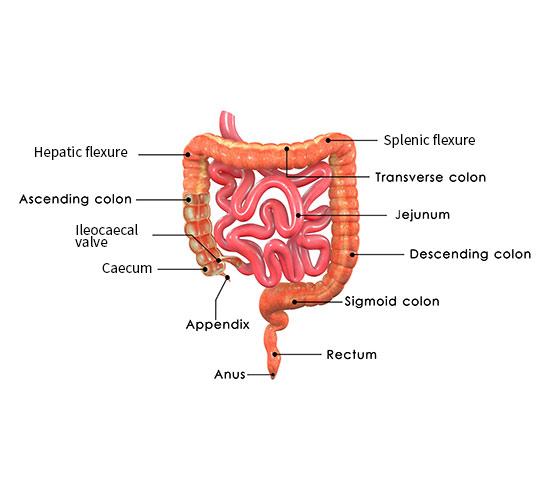 illustration-of-colon